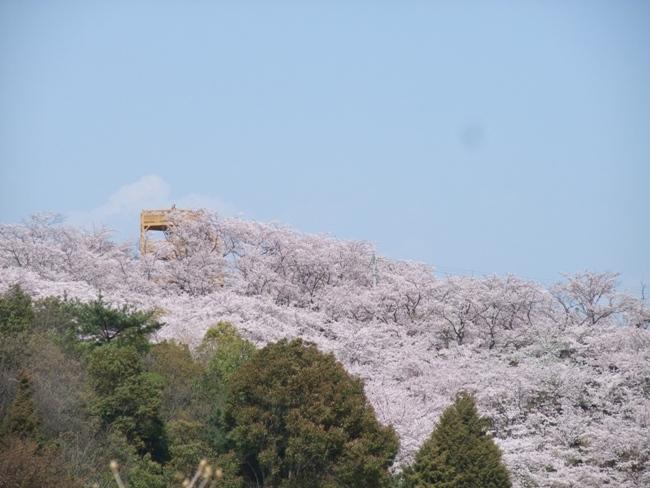 開山の桜 (4)