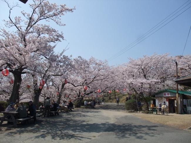 開山の桜 (5)