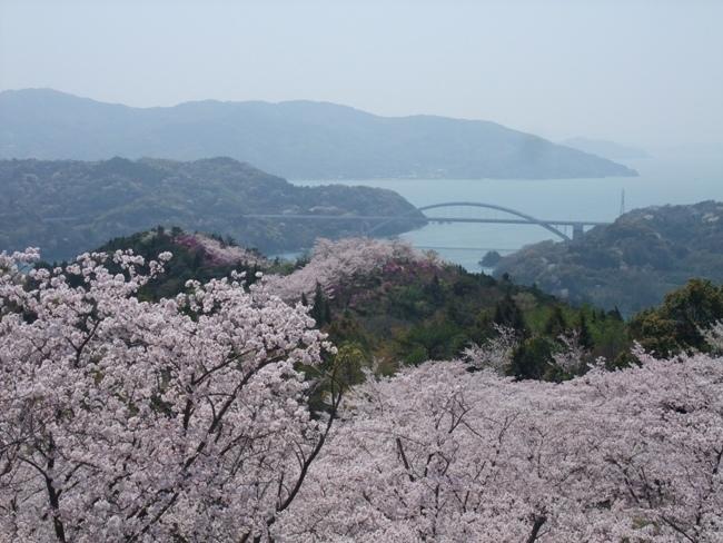 開山の桜 (2)