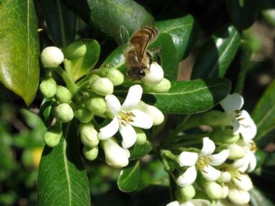 190418-36=トベラの花とミツバチ a旧丸周前