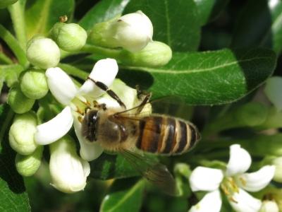 190418-37=トベラの花とミツバチ a旧丸周前