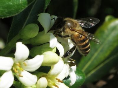 190418-38=トベラの花とミツバチ a旧丸周前