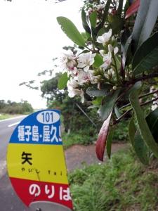 190428-23=シャリンバイの花と矢石BS a庵下県道