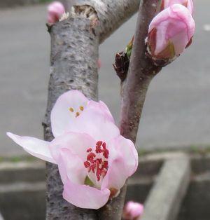 018魯桃桜