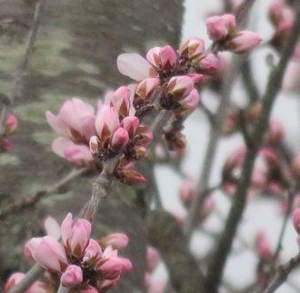 031魯桃桜