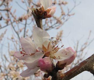 013魯桃桜