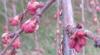 035aしだれ桜