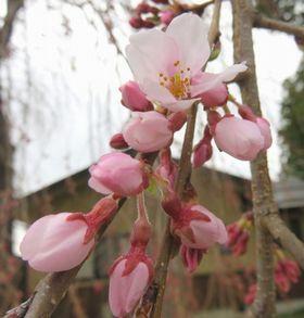 018しだれ桜a
