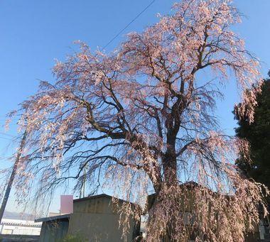 002しだれ桜