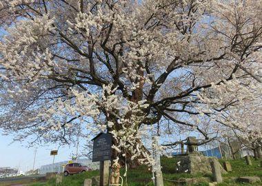 002宇木の千歳桜