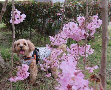 030しだれ桜