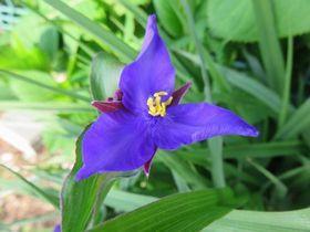 008紫露草