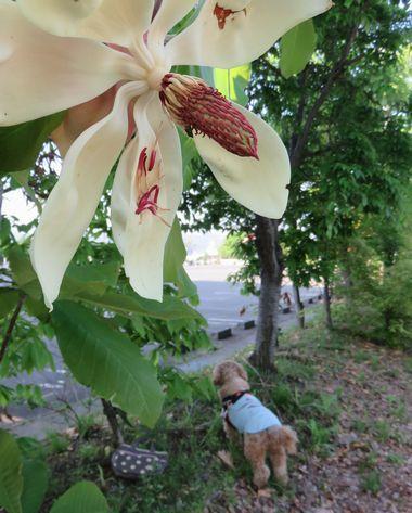 026朴の木花