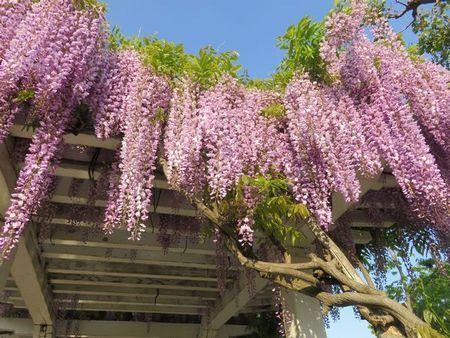 001バラ公園藤の花