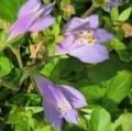 013紫鷺苔