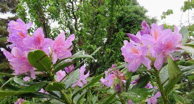 017石楠花