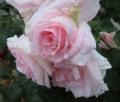 004薔薇