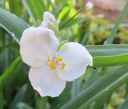 006白い紫露草