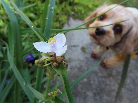 007白い紫露草