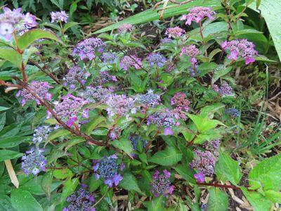 004ミニ紫陽花