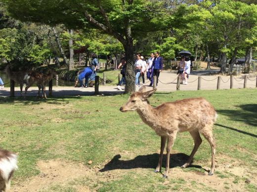 190504奈良東大寺鹿