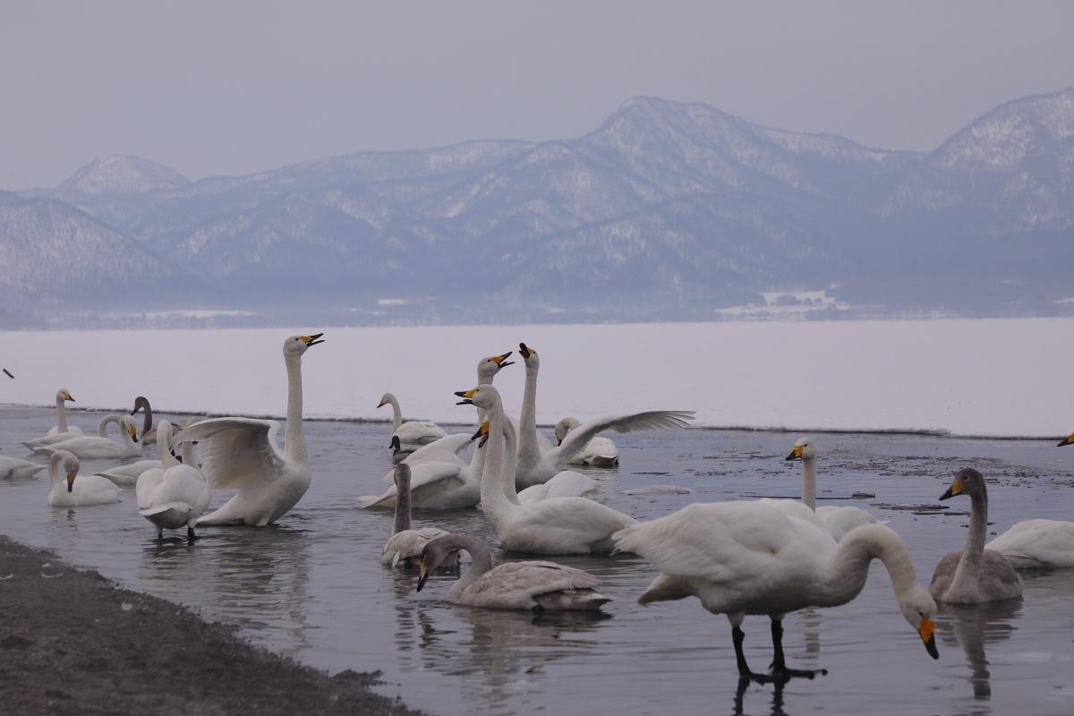 1433 白鳥の歓迎