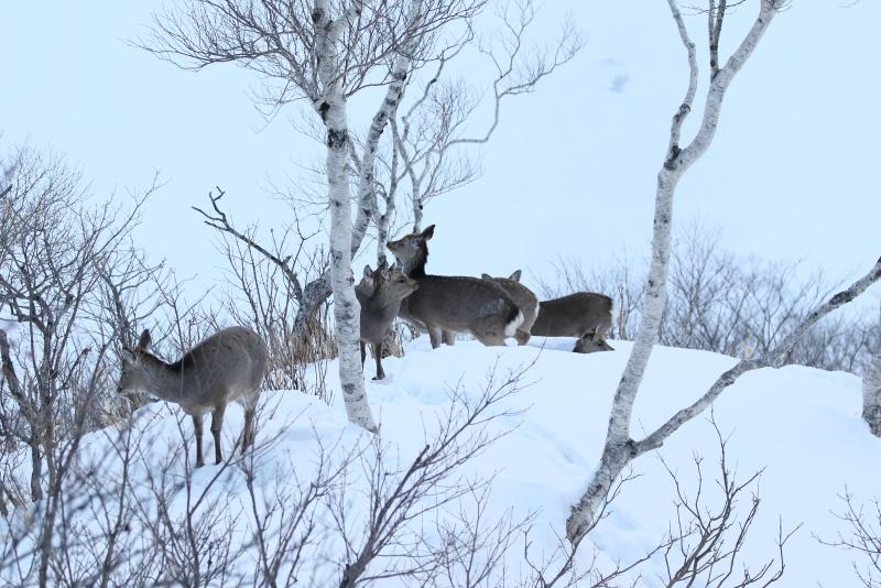 3793   摩周湖の鹿