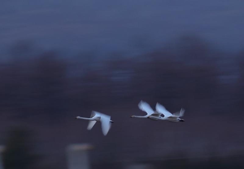 3418 白鳥