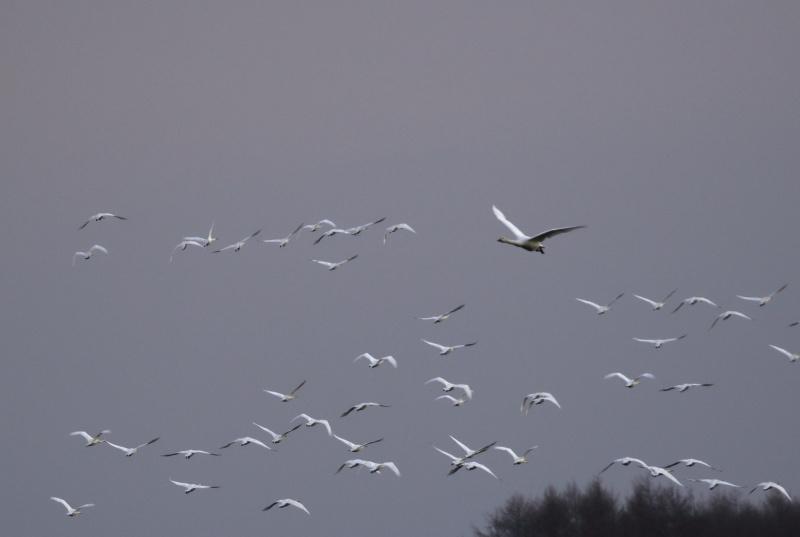 5871 白鳥