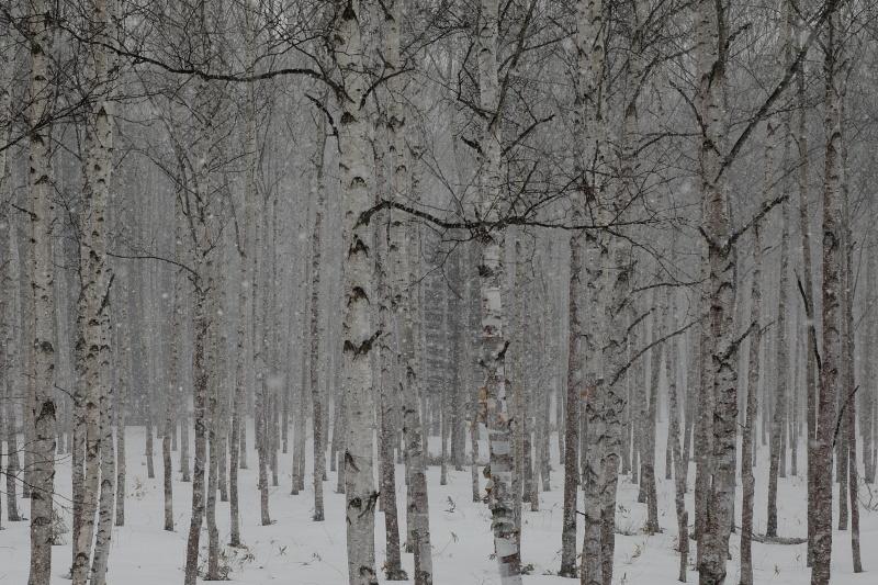 5890 白樺林