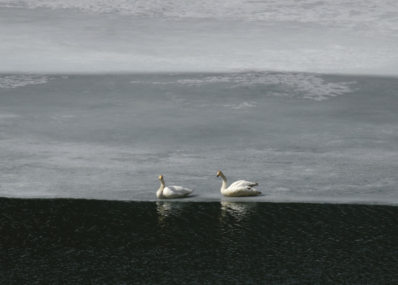 6627  三層の白鳥