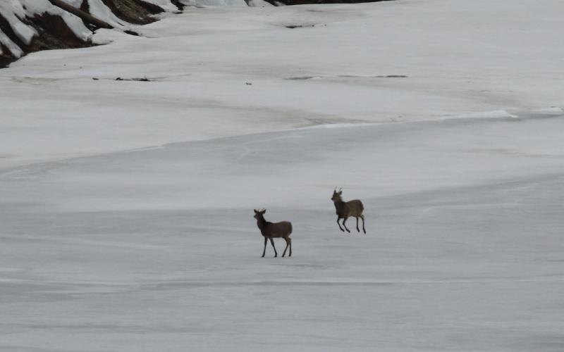 6900 若い雄鹿