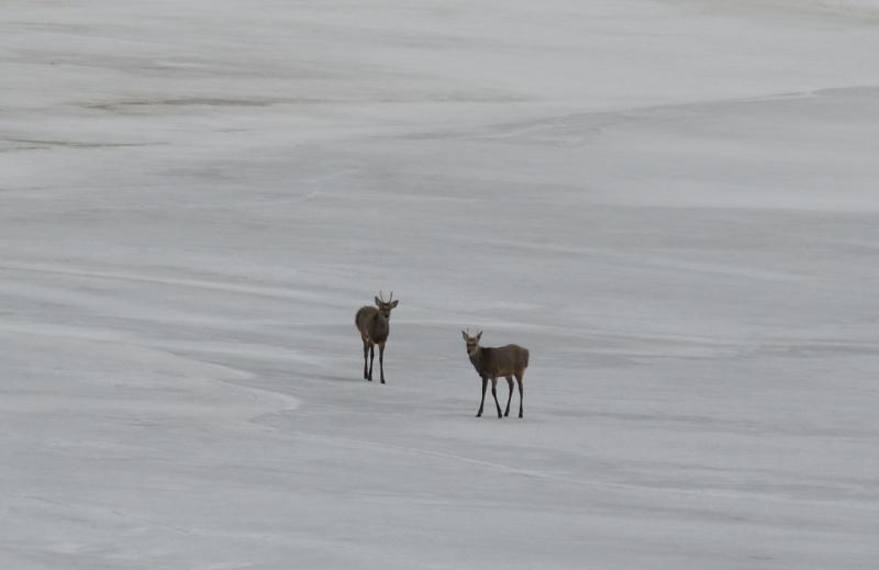 6930 若い雄鹿