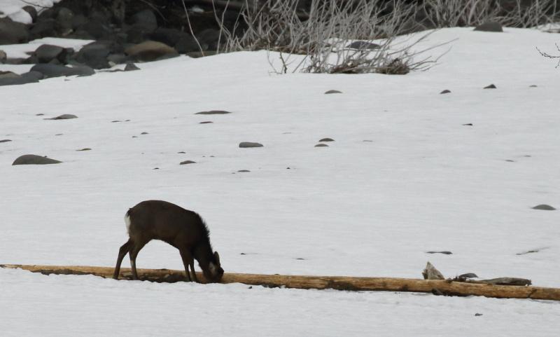6776 木の皮を食べる鹿