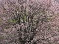 2019hibaraipponzakura-mankai9-web600.jpg