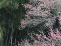 2019sessonzakura-sakihajime15-web600.jpg