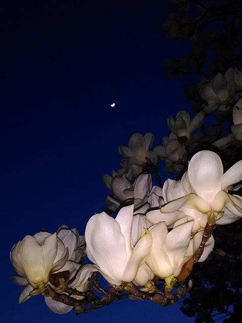 月と白木蓮