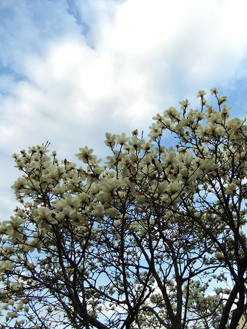 昼の白木蓮