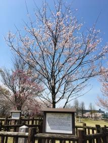 お手植えの桜 201904