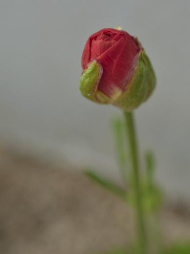 20190423_小さな花壇1_ラナンキュラス2
