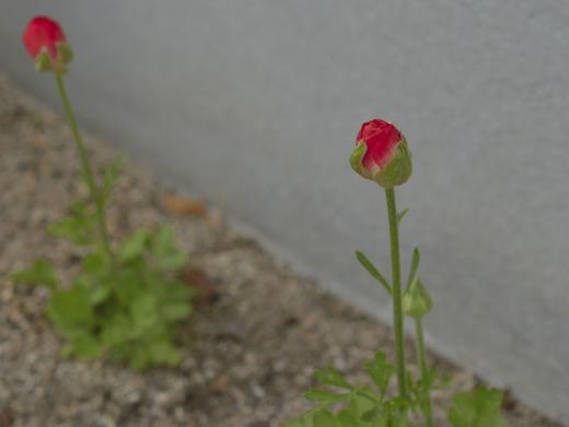 20190423_小さな花壇1_ラナンキュラス1
