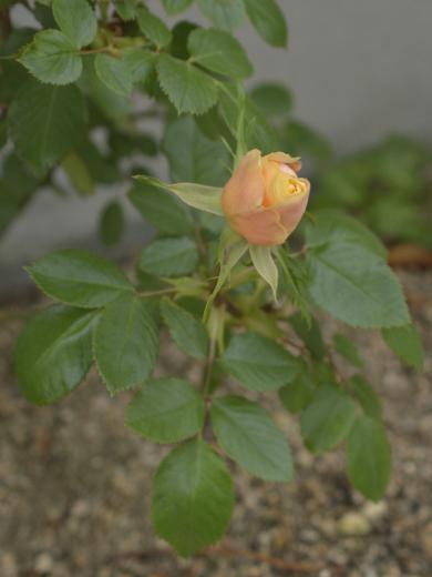 20190423_小さな花壇1_ミニバラ白1