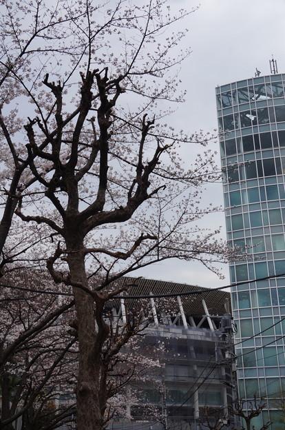 新国立競技場と桜