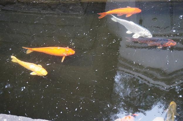 錦鯉が泳いでいました