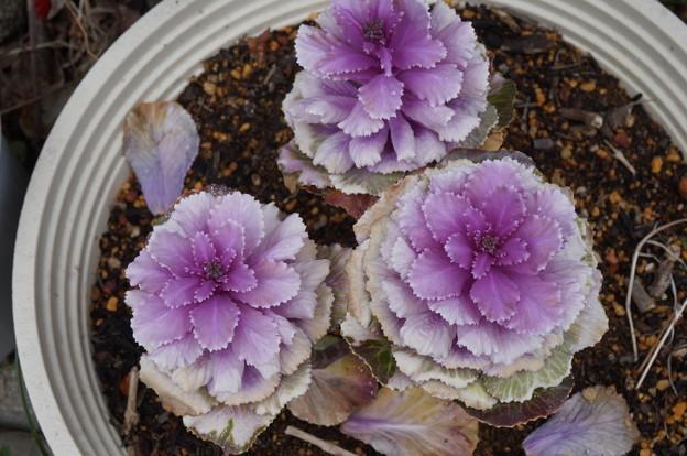 紫の葉牡丹