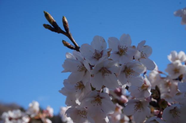 どんどん咲く桜