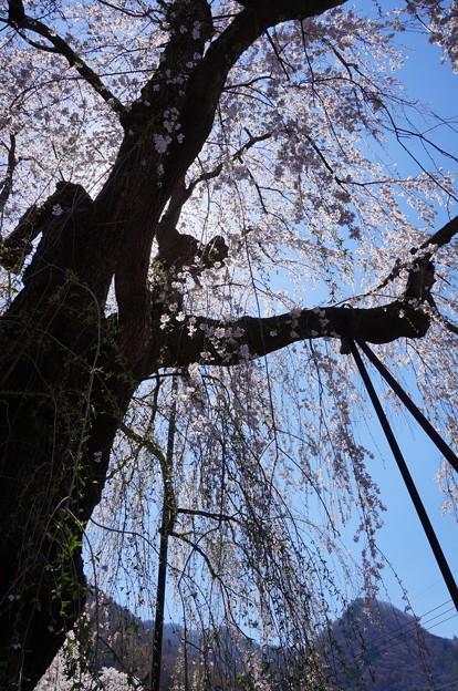 下から見た枝垂れ桜
