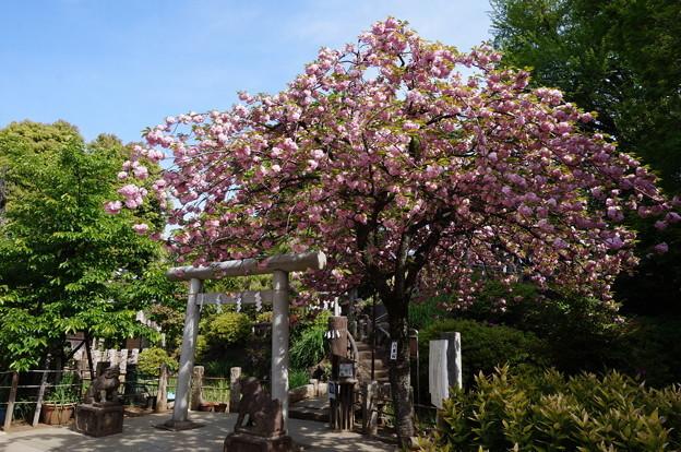 八重桜と小富士