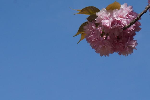 一輪の八重桜