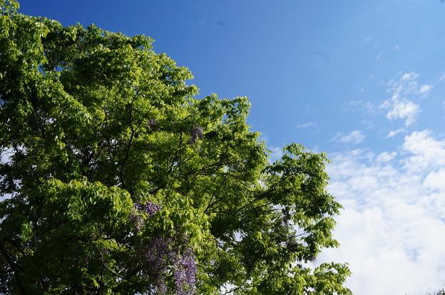 晴れた空と藤